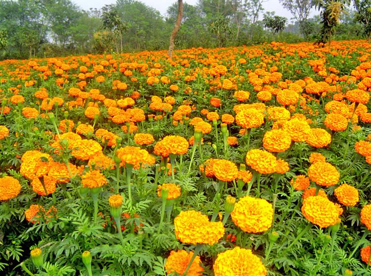 ফুল চাষে নারায়ণগঞ্জের কৃষকের ভাগ্যবদল