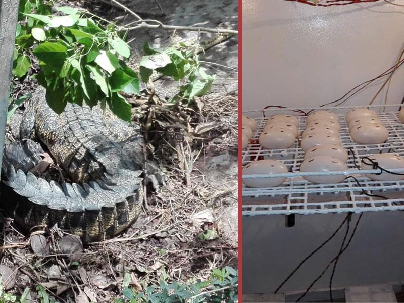 ৫২ টি ডিম দিল করমজল বন্যপ্রাণী প্রজনন কেন্দ্রের কুমির 'জুলিয়েট'