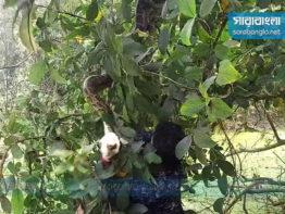 সিরাজগঞ্জে ১১ ফুট লম্বা অজগর সাপ উদ্ধার