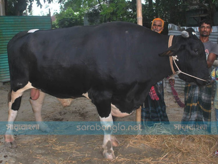 সিরাজগঞ্জের রাজাবাবু '৪৫ মণ', দাম ১৫ লাখ