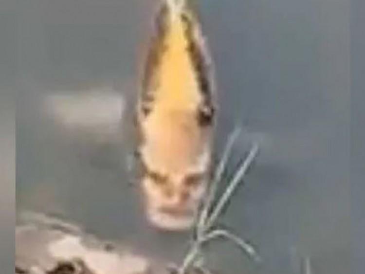 দেখা মিলল মানুষমুখো মাছের (ভিডিও)