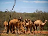অস্ট্রেলিয়ায় পানি সংকট: দশ হাজার উট মেরে ফেলার সিদ্ধান্ত