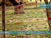 রাজশাহীতে আমের ক্ষতি করে গেল আম্পান