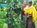 প্রবাসী স্বামীর উৎসাহ, ইউটিউব ভরসা— মাল্টা চাষে বাজিমাত আফরোজার